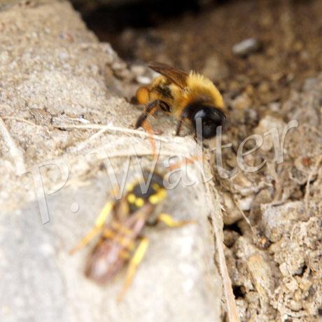 """08.05.2016 : Wespenbiene wartet bis die Sandbiene ihren Nistgang verlässt,  um """"kuckuckartig"""" ihr Ei ins gemachte Nest zu legen ..."""