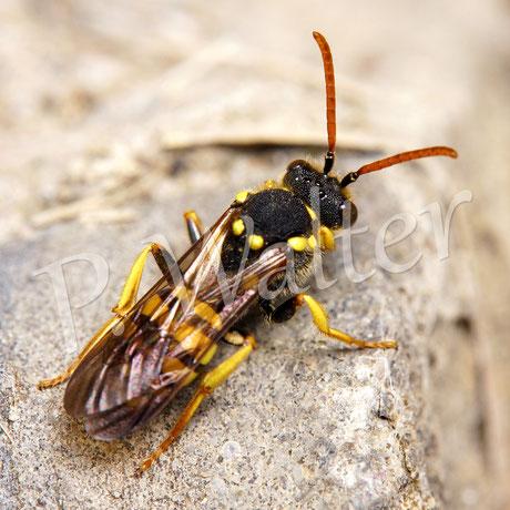 08.05.2016 : Wespenbiene in Lauerstellung