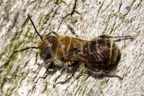 18.05.2014 : Männchen der Stahlblauen Mauerbiene