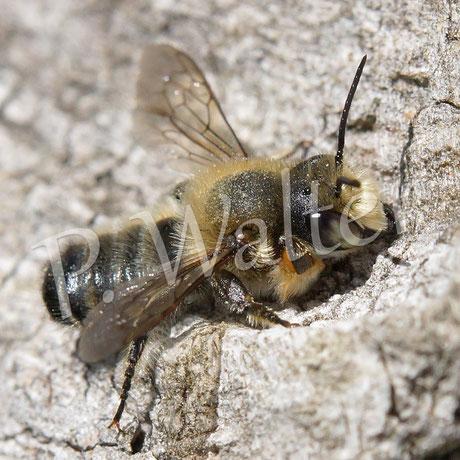 Bild: Blattschneiderbiene