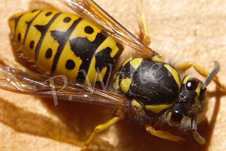 03.05.2014 : Deutsche Wespe, Vespula germanica