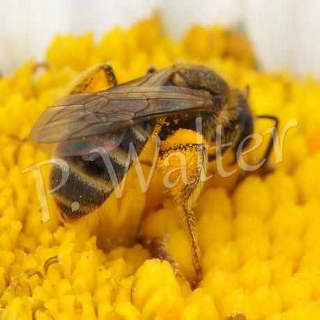 Bild: Furchenbiene auf Margaritenblüte, Halictus ...