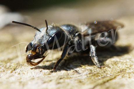 18.05.2014 : Weibchen der Stahlblauen Mauerbiene