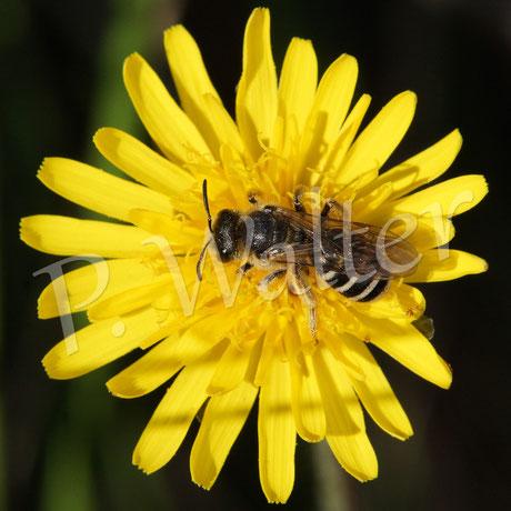 März 2016 : Wildbiene auf Mallorca (Seidenbiene ?)