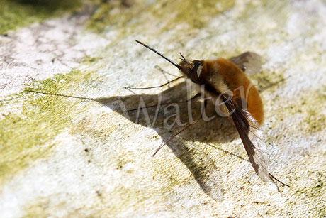 24.03.2014 : Wollschweber,ein Brutparasit von z.B. Sandbienen (im Boden nistende Wildbienen)