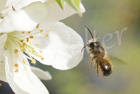 Bild: Männchen der Rostroten Mauerbiene (Osmia bicornis) beim Anflug auf die Zierapfelblüte