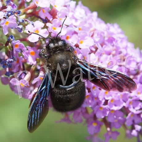 Bild: Holzbiene an Sommerfliederblüten, Xylocopa violacea, Männchen