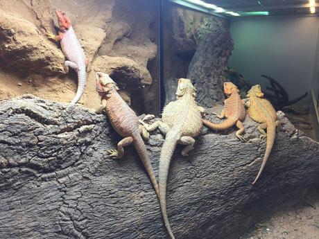 Pogona, Bartagame, Terrarium, Reptilien, Nachzucht, Schweiz, Zürich