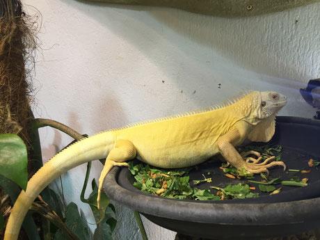regular albino, iguana, reptilien, nachzucht