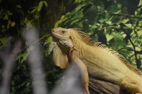 regular albino, albino, leguan, iguana, schweiz, reptilien, zürich
