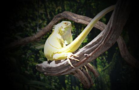 Regular, Albino, Iguana, Leguan