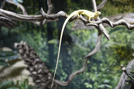 leguan, iguana, terrarium, zoo, albino, terraristik