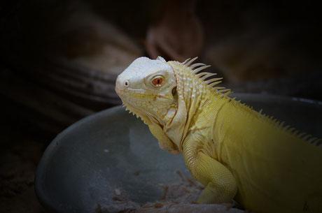 regular, albino, iguana, reptil, nachzucht