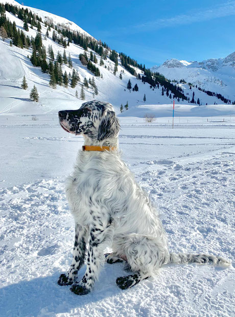 English Setter im Schnee, Setter by white Angel