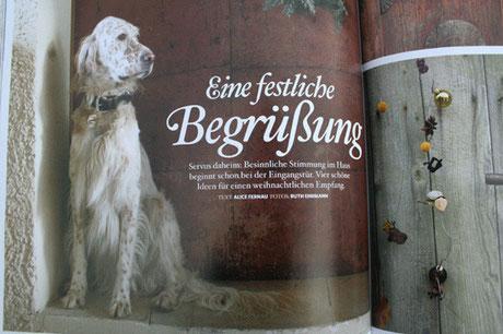 English Setter Coco by white Angel in der Zeitschrift Servus