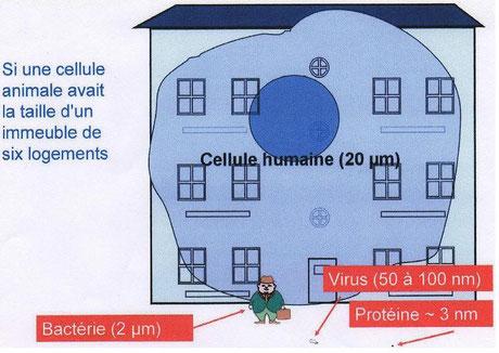 Une échelle de dimensions des micro-organismes et virus. Source: wikipédia.