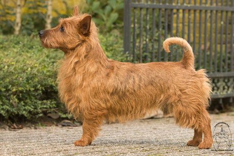 Australian Terriervon den Grauen Anfurten