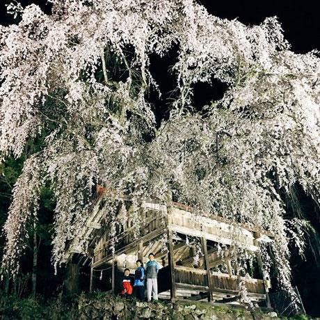 浅井神明神社の枝垂れ桜ライトアップ