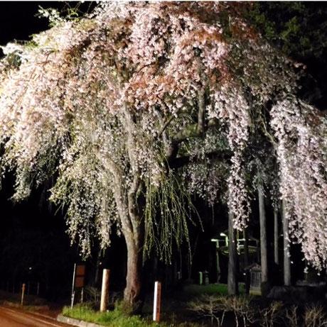 万石地区薬師堂の枝垂れ桜ライトアップ