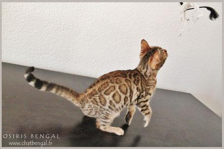 sherakan nefertiti osiris bengal cat kitten chaton elevage vends donne adopte luxe haut de gamme qualité certifié chatterie charcoal brown snow