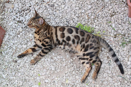 chat cat bengal bengale bengali brown silver snow charcoal rosette sparble donut pancake vends a vendre - Chaton Bengal Gratuit