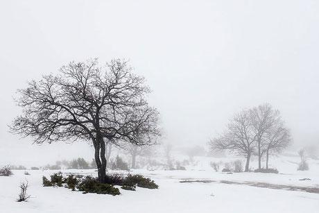 bosque, wood, forest, tree, árbol seco, nieve, invierno, snow, mañana, morning, winter, invierno, Cuenca, Spain