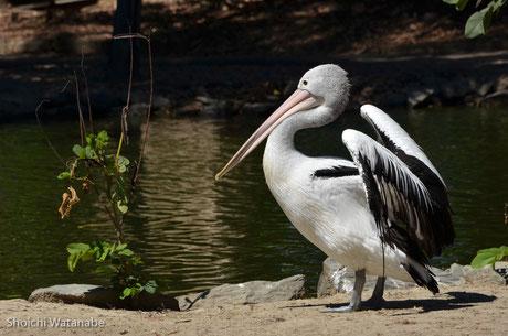 コシグロペリカンとも呼ばれているようで、羽根を広げると2m超え・・・