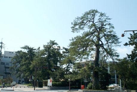 【在りし日の潮止め松(写真提供:米子市)】