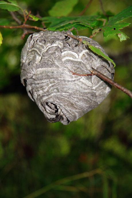 Das Nest der Mittleren Wespe