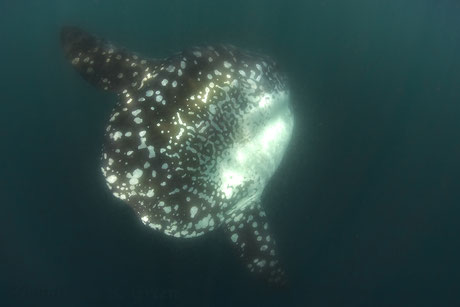 Sunfish swimming by in Punte Vicente Roca, Galapagos