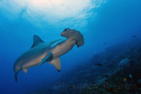 Close encounter with a hammerhead shark while diving in Galapagos, © Galapagos Shark Diving