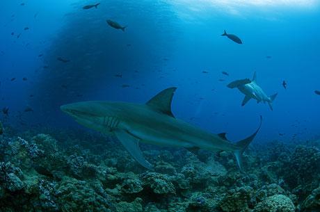Galapagos Shark Diving - Tauchen mit Haien und Schwarmfisch Galapagos Inseln