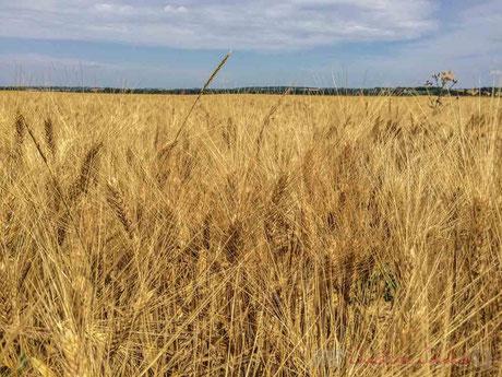 Plaine céréalière du Haut-Poitou, avant la moisson d'un champ de blé à Blaslay