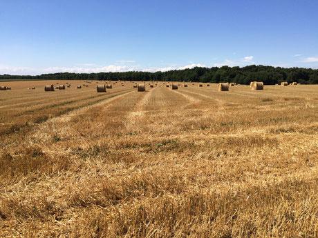 Plaine céréalière du Haut-Poitou, après la moisson d'un champ de blé à Brux