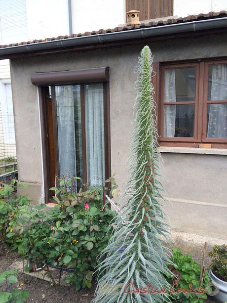 Echium fastuosum, Viperine de Madère, Floirac, Gironde
