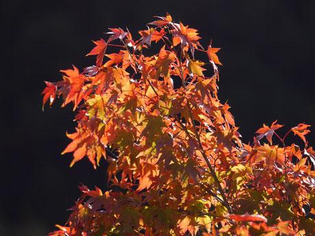 枝先が色づいているイロハモミジ