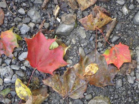 落葉したオニイタヤの葉っぱ