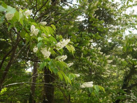 ウワミズザクラの花(5月)