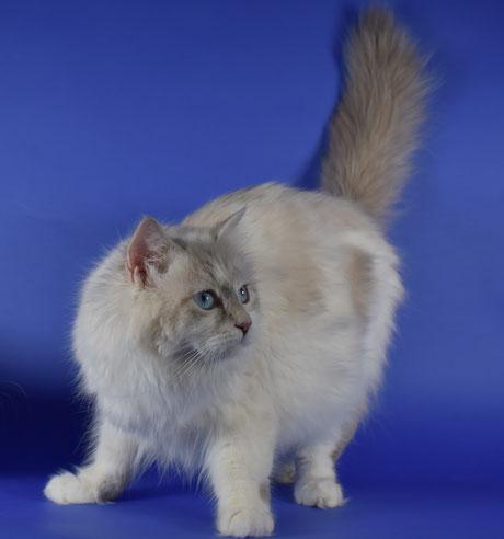 immagine gatto siberiano
