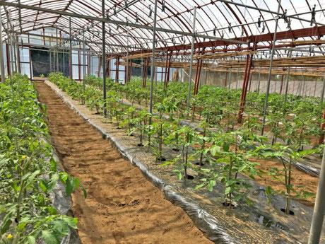 三宅サンマルツァーノ 菊地農園 苗