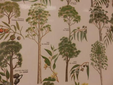 ユーカリは、500種類以上あるそうです
