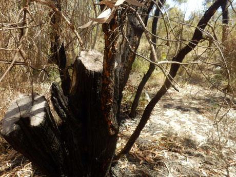 ユーカリの葉は油分が多いためこすれて勝手に燃え山火事になる