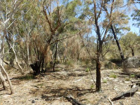 西オーストラリア州パースにあるキングスパークに自生するユーカリ。燃えた跡が多数
