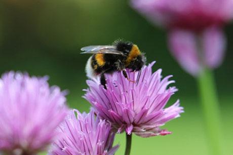 Ein Zuhause für ein Zuhause, Wir unterstützen ein Bienenprojekt, Biene auf Blume
