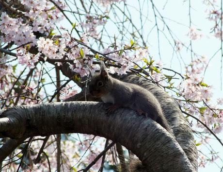 二の鳥居前の桜とリス