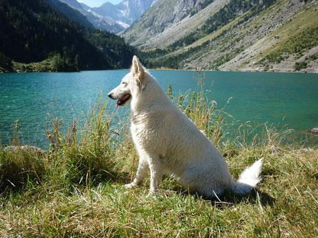 berger blanc suisse chiot femelle male vends a vendre tarif prix pure race 34 30 12 48 31 69 13 75 pigmenté grand gabarit ahow poil long mi long
