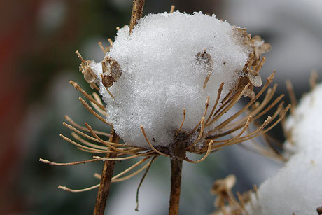 Eiskugel auf Knoblauchsamenstand ©wandelsinn