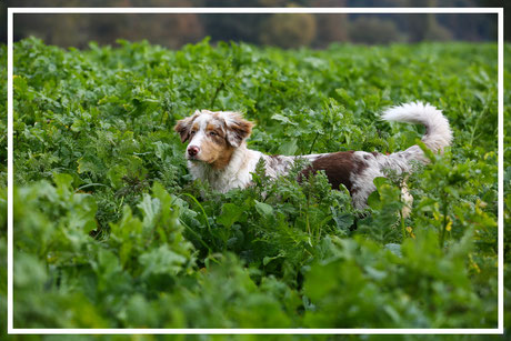 Fotoshooting-Tierfotograf-Juergen-Sedlmayr-Hund-Feld