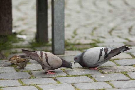 ... die Tauben in dern Innenstadt. Habe es mir interessiert angeschaut, aber bin brav liegen geblieben, bzw habe nicht an der Leine gezerrt. Herrchen und Frauchen haben mich schön gelobt. Dabei waren sie so schön dich vor mir, die Tauben meine ich.