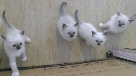 Les chatons de Java